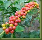 Tanzania -Arusha Coffee