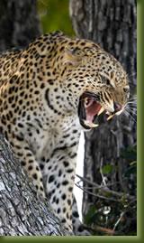 Tanzania Safari - Leopard