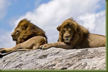 Tanzania Safari - lion