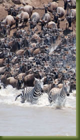 Tanzania Safari - Zebra