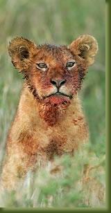 Kenia Lion