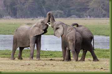 Kenia Safari - elephants