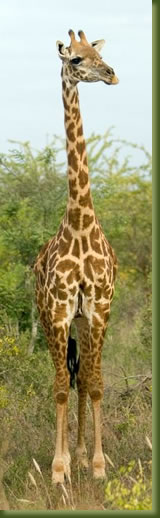 Kenya Maasi Mara - Giraffe