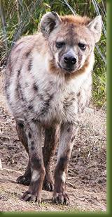 Kenya safari Hyena