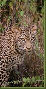 Kenia Leopard
