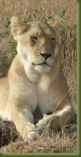 Kenia Adventures - Lion Safari