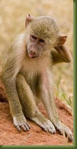 Kenya Safari - monkey