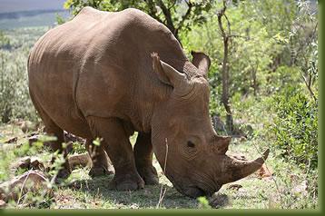 Kenya Safari - Rhino