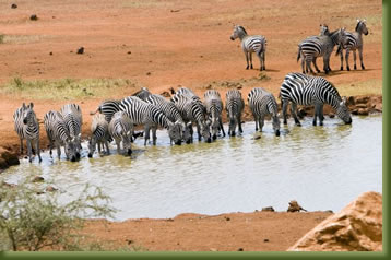 Kenya Safari - Zebra