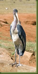 Kenia Safari - stork