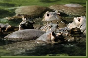 Kenia Safari - Hippo