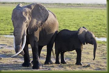 Kenya Safari - Tsavo elephants