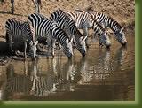 Kenya - Maasi Mara -  Zebra